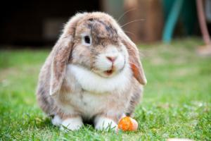 Obese Rabbit